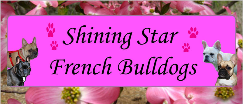 Shining Star French Bulldogs
